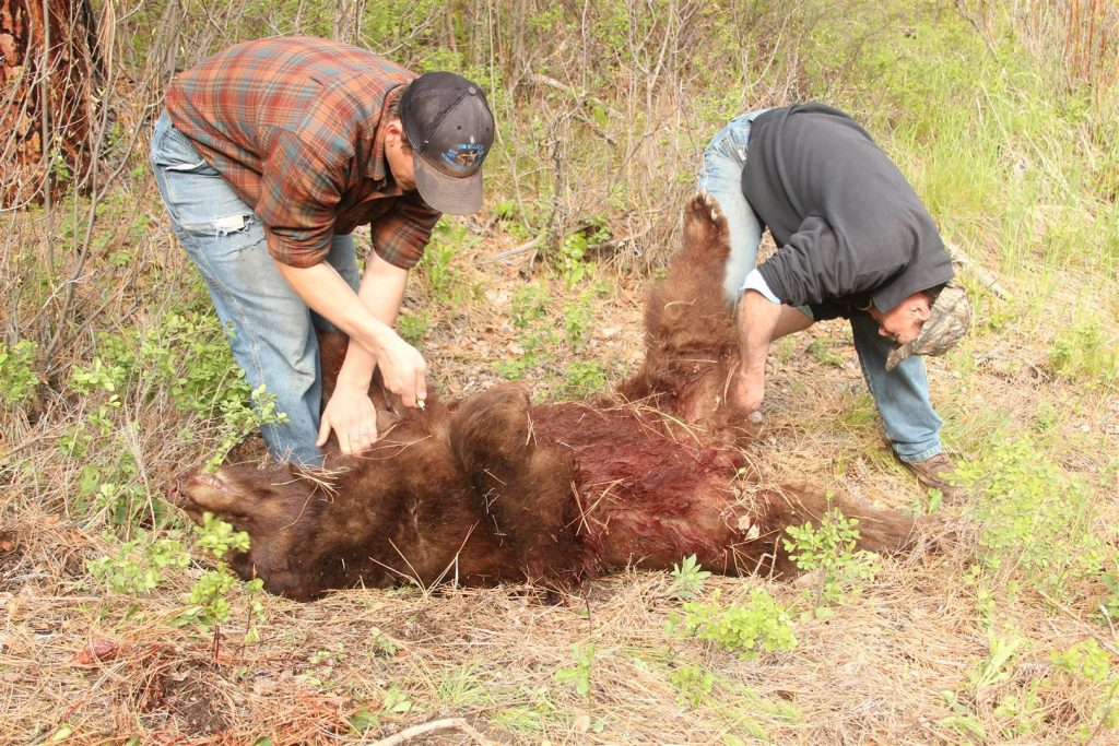 """This is not the way to do it, two Idaho guides (""""tough guys"""") who never wear gloves when skinning bears. They may not have cut themselves yet, and they might never, but the small scratches that are on everyone's hands from daily life in the outdoors is an open invitation for infection."""